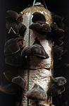 Pilzzucht Magic Mushrooms - Da Lat