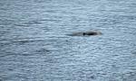 Irrawaddy-Delphin (Orcaella brevirostris) - Kratie