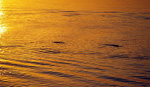 Irrawaddy-Delphine (Orcaella brevirostris) im Sonnenuntergang - Kratie