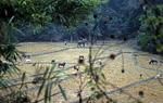 Reisfelder mit Wasserbüffeln - Doi Inthanon-Nationalpark
