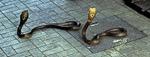 Schlangenfarm (Queen Saowapha Memorial Institute): Brillenschlangen (Naja naja) - Bangkok