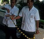 Schlangenfarm (Queen Saowapha Memorial Institute): Fütterung einer Gebänderten Krait (Bungarus fasciatus) - Bangkok