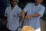 Schlangenfarm (Queen Saowapha Memorial Institute): Melken einer Schlange - Bangkok