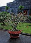 Blumenkübel am Ho Chi Minh-Mausoleum - Hanoi