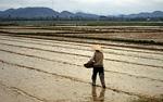 Reisfeld: Ein Bauer sät Reis - Hue