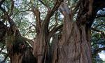 Árbol de Tule (Taxodium mucronatum) - Santa Maria del Tule