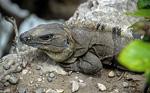 Grüner Leguan (Iguana-Iguana) - Tulum