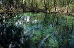 Ojo de Agua Baldiosera: Süßwasserquellteich - Reserva de la Biósfera Ría Celestún