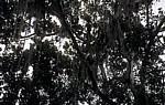 Spanisches Moos (Tillandsia usneoides): Epiphytische Tillandsien - Tikal