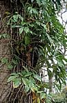 Epiphyten - Yaxchilán