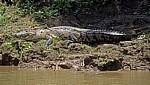Beulenkrokodil (Crocodylus moreleti) mit Schmetterlingen - Rio Usumacinta