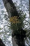 Epiphyten - Bonampak