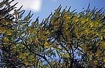 Gelbe Blüten - Monte Albán