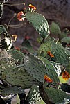 Feigenkaktus (Opuntia ficus-indica) mit Blüten - Monte Albán