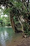 Reserva Biósfera Cascadas Agua Azul: Baum am Rio Yax - Agua Azul