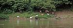 Rinder am Ufer - Rio Usumacinta