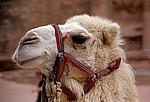 Kamel - Petra