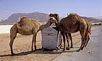 Kamele bedienen sich an einer Mülltonne - Nefud