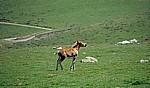 Jakobsweg (Navarrischer Weg): Fohlen - Pyrenäen (F)