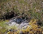Jakobsweg (Navarrischer Weg): Spanische Mauereidechse (Podarcis hispanica) - Pyrenäen