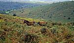 Dartmoor-Ponies  - Dartmoor National Park (Devon)