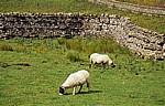 Schafe - Yorkshire Dales