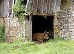 Jakobsweg (Navarrischer Weg): Kuh  - Pyrenäen