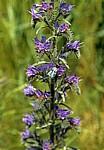 Jakobsweg (Navarrischer Weg): Widderchen (Zygaena, Nachtfalter ) auf Natternkopf (Echium vulgare) - Sierra del Perdón