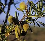 Jakobsweg (Camino Francés): Grüne Mandeln am Baum (Prunus dulcis) - Navarra