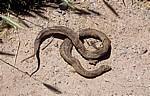 Jakobsweg (Camino Francés): Tote Schlange (ohne Kopf) - La Rioja