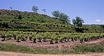 Jakobsweg (Camino Francés): Weinberge zwischen Azofra und Cirueña - La Rioja