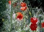 Jakobsweg (Camino Francés): Blütenstaub auf Klatschmohn (Papaver rhoeas) - La Rioja