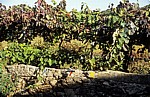 Jakobsweg (Caminho Português): Weinstöcke - Distrito de Braga
