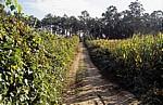 Jakobsweg (Caminho Português): Weinstöcke und Maisfelder - Distrito de Braga