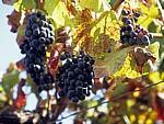 Jakobsweg (Caminho Português): Weintrauben - Facha