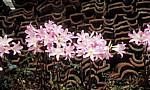 Jakobsweg (Caminho Português): Belladonnalilie (Amaryllis belladonna)  - Labruja-Tal