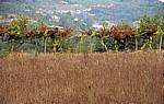 Jakobsweg (Caminho Português): Wein inmitten der Felder - Rubiães
