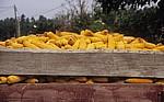 Jakobsweg (Caminho Português): Maiskolben auf einem Anhänger - Fontoura