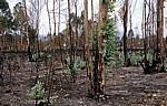 Jakobsweg (Caminho Português): Verbrannter Eukalyptus-Wald - Distrito de Viana do Castelo