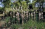 Jakobsweg (Camino Francés): Weißer Affodill (Asphodelus albus) - Matagrande
