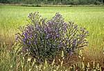 Jakobsweg (Camino Francés): Blaue Blumen am Wegesrand - Castilla y León