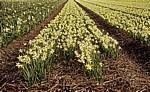Blumenfelder: Narzissen (Narcissus) - Lisse