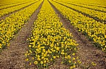 "Blumenfelder: Mini-Narzissen ""Tête a Tête"" (Narcissus ""tete a tete"")  - Lisse"