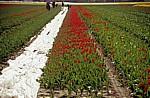 Blumenfelder: Tulpen-(Tulipa) Ernte - Lisse