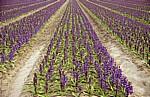 Blumenfelder: Hyazinthen (Hyacinthus) - Lisse