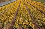 Blumenfelder: Tulpen (Tulipa) - Lisse