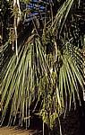 Dattelpalme (Phoenix) - Chania