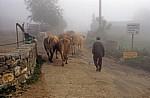 Jakobsweg (Camino Francés): Ein Bauer mit seinen Kühen - Biduedo