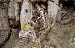 Jakobsweg (Camino Francés): Edelkastanie (Castanea sativa) - Detail - Ramil