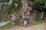 Jakobsweg (Camino Francés): Pilger an der alten Edelkastanie (Castanea sativa) - Ramil